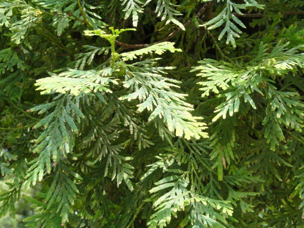 dac-diem-sinh-hoc-go-pôu-1024x768 [Kiến thức] Gỗ pơ mu là gì? - Đặc điểm và ứng dụng phổ biến của gỗ pomu