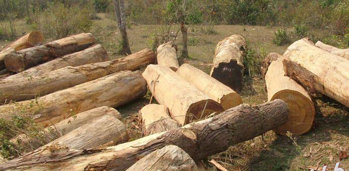 mua-ban-go-po-mu-1-e1521705927880 [Kiến thức] Gỗ pơ mu là gì? - Đặc điểm và ứng dụng phổ biến của gỗ pomu