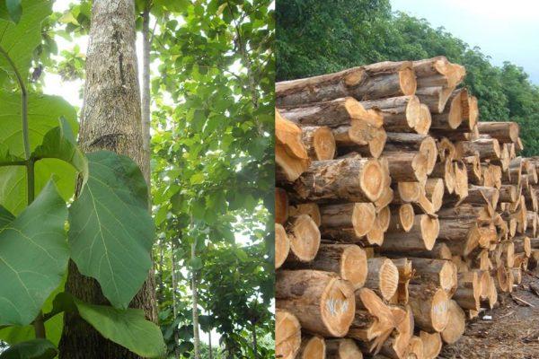 gỗ tếch